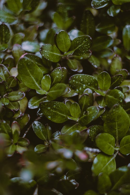 Background of tropical taupata shrub with droplets on leaves