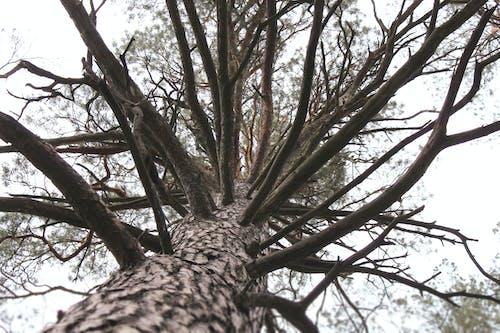 Бесплатное стоковое фото с ветви, лес, снимок снизу, сосна