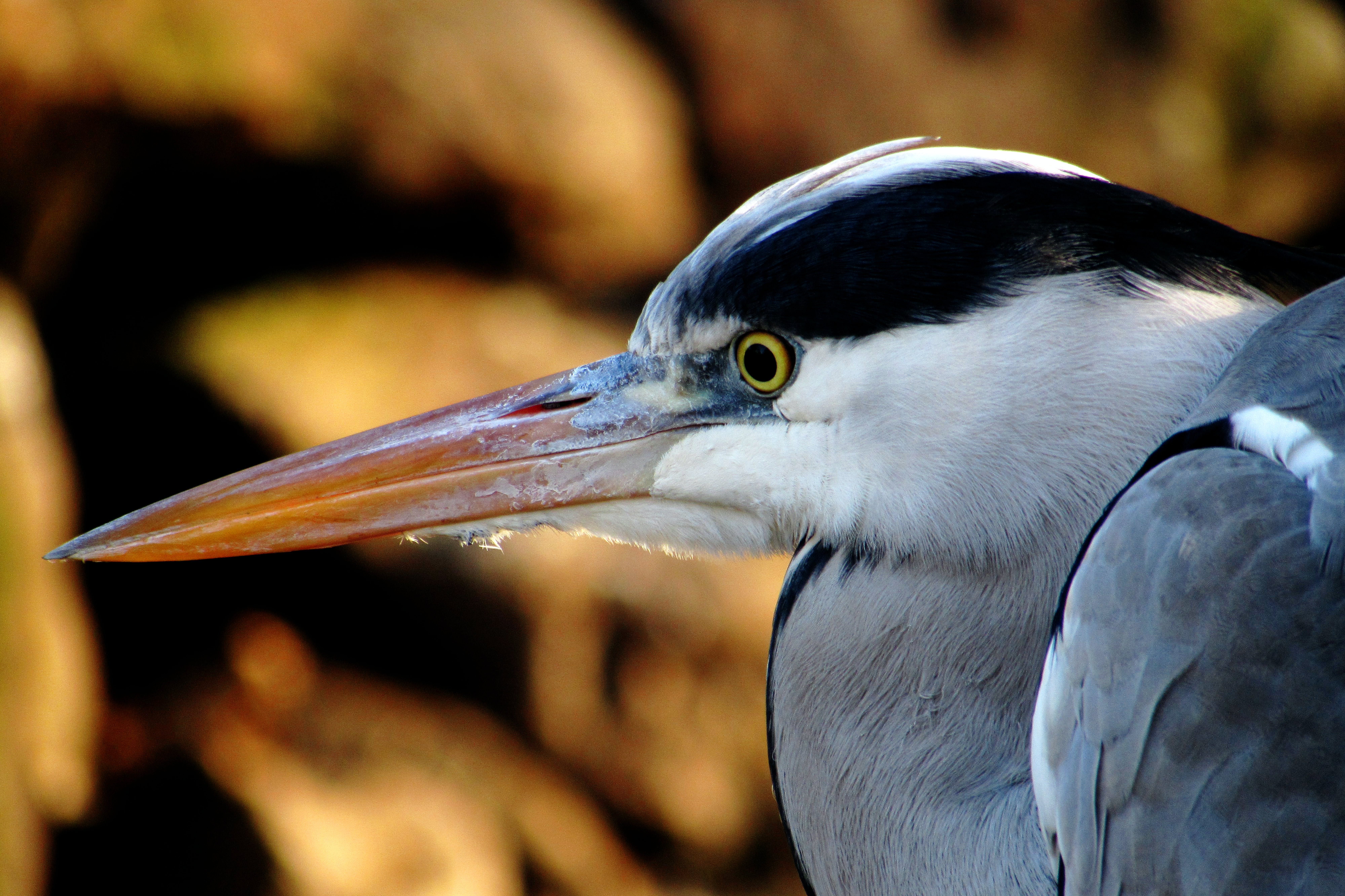 Close-up Photography of Great Blue Heron