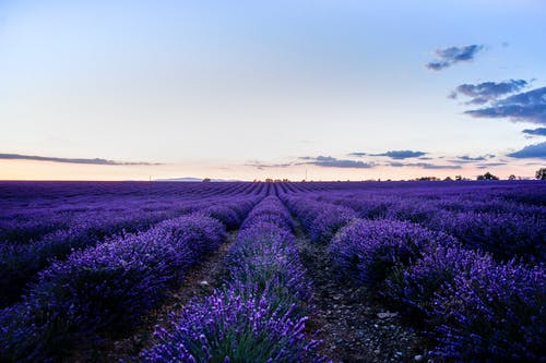 Pink blue sky above field of lavenders