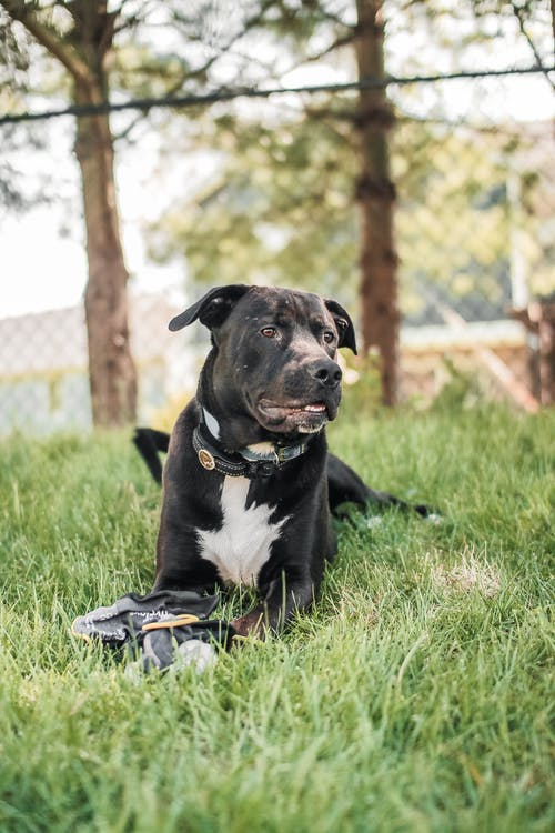Black muscular dog resting on meadow