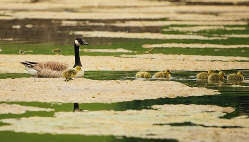 Goose and babies swimming in marshland water