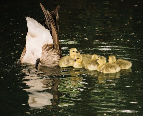 Fluffy goslings with mother in pond