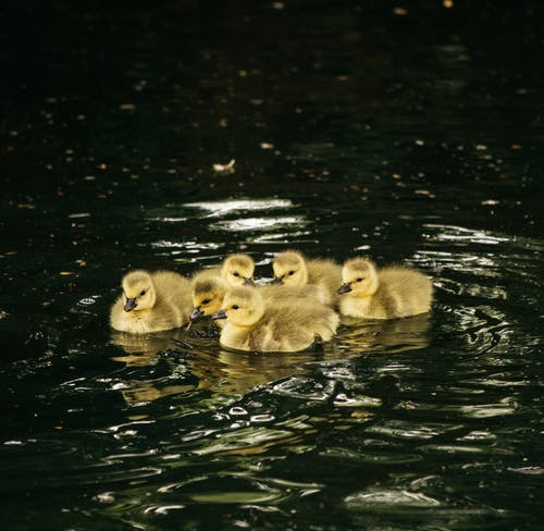 Flock of cute goslings in pond