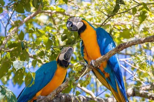Blue and Yellow Macaw on Tree Branch