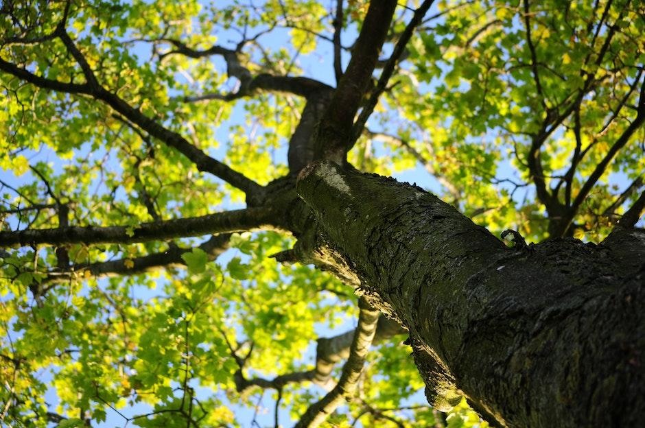 bark, leaves, maple