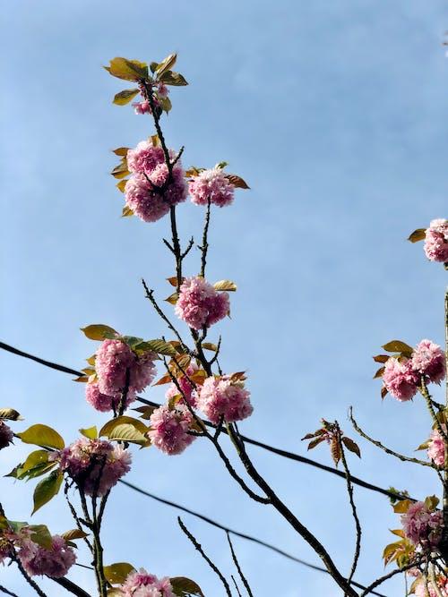 Free stock photo of blue sky, flowers, powerline