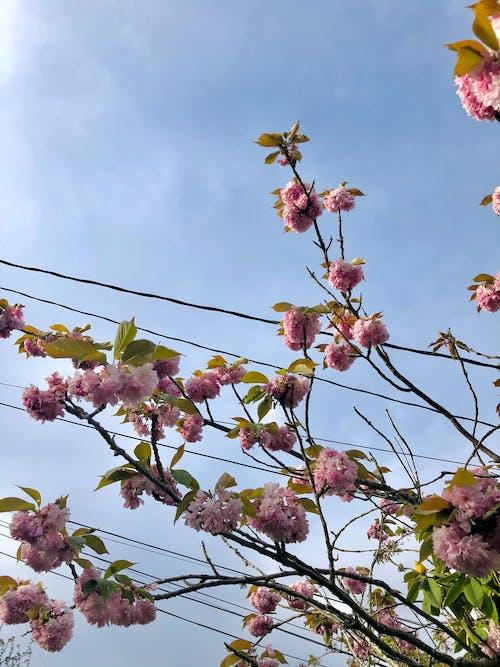 Free stock photo of blue sky, flowers, powerlines