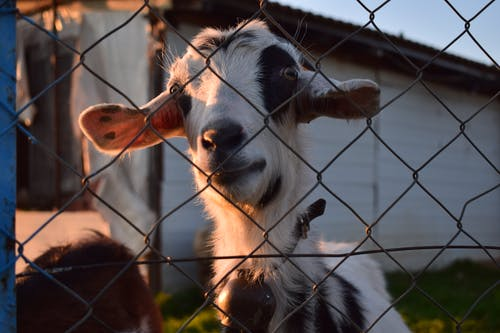 Free stock photo of behind the fence, big ears, big eyes