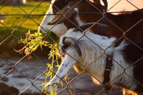 Free stock photo of black and white lamb, brown lamb, cute animals
