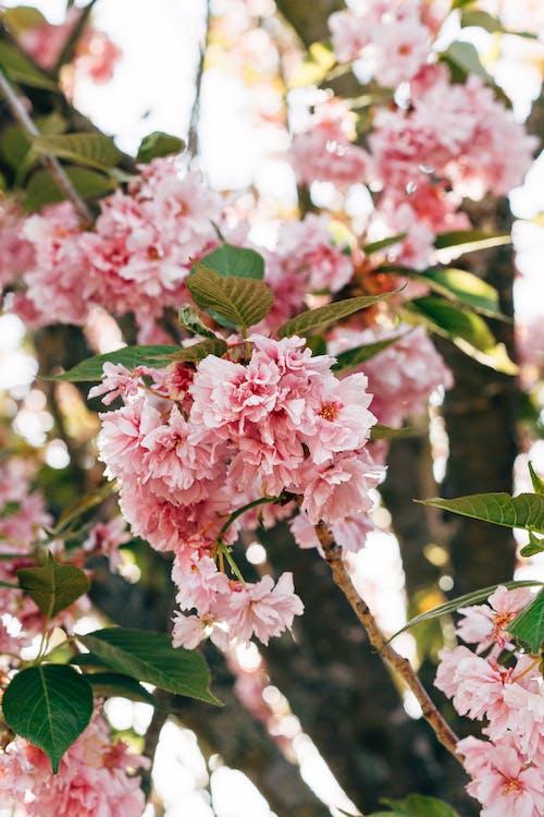 Selective Focus Photo of Beautiful Prunus Kanzan Flowers