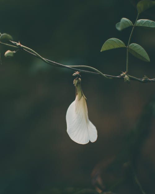 Delicate green pea flower on thin twig