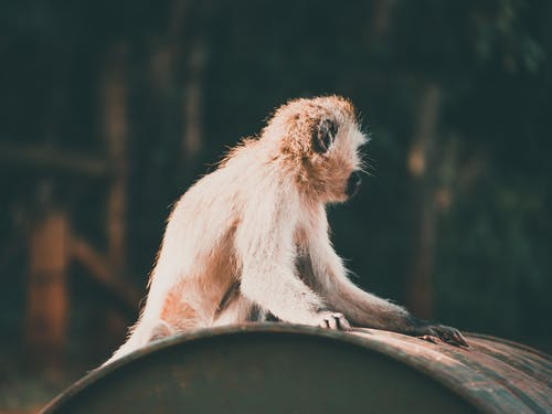 Brown Monkey Sitting on Black Round Container