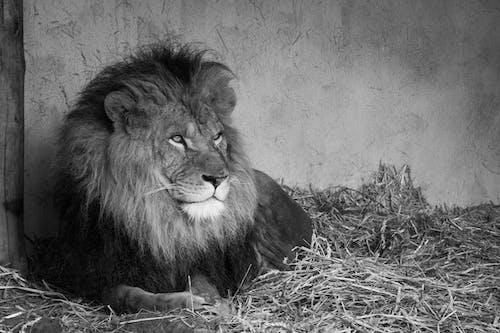 Kostnadsfri bild av djur, djurpark, lejon, man