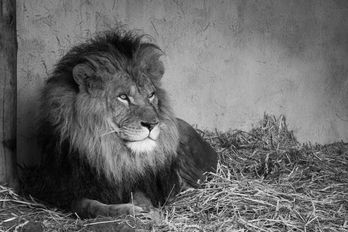 Grayscale Photography of Lion Prone Lying on Hay Beside Concrete Wall