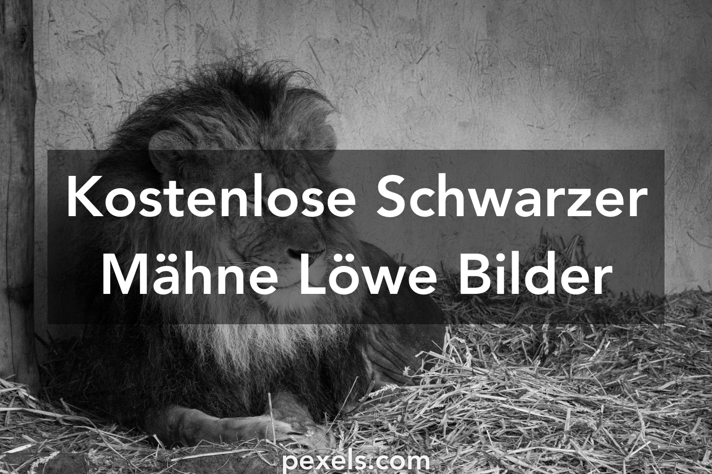 1000 Schwarzer Mähne Löwe Fotos Pexels Kostenlose Stock Fotos