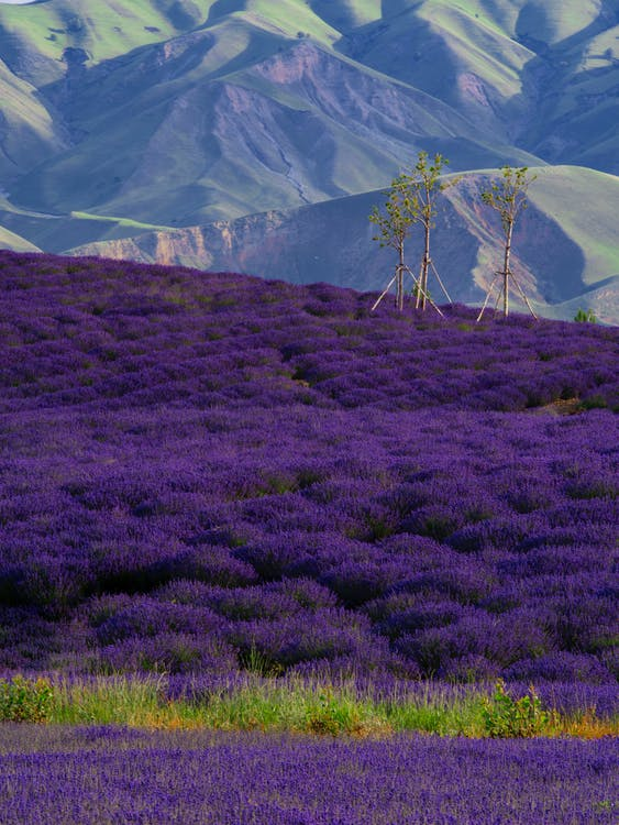 Picturesque landscape of vivid purple lavender fields located in countryside near rough mountains on sunny summer day