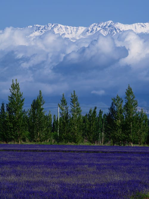 Bright lavender field in countryside near green trees