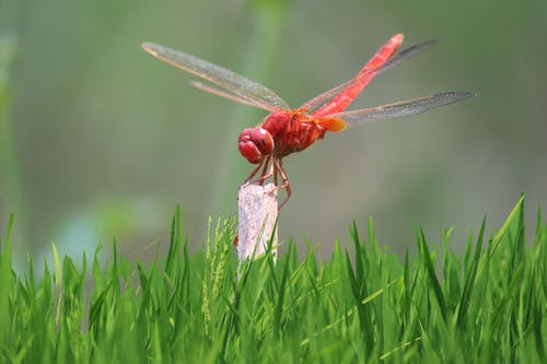 Red Crocothemis erythraea in green grassy field