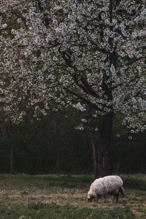 Free stock photo of blossom, sheep
