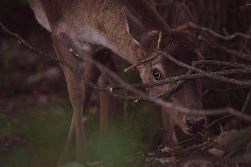 Brown Deer on Green Grass