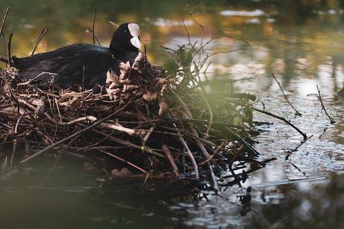 Free stock photo of bird nest, nest, water bird, water birds