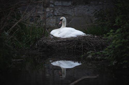 Free stock photo of bird nest, nest, swan, Swan nest