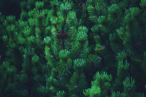 Coniferous tree branches with cones in woods