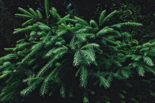 Green spiky branches of coniferous tree with thin needles growing in lush woods
