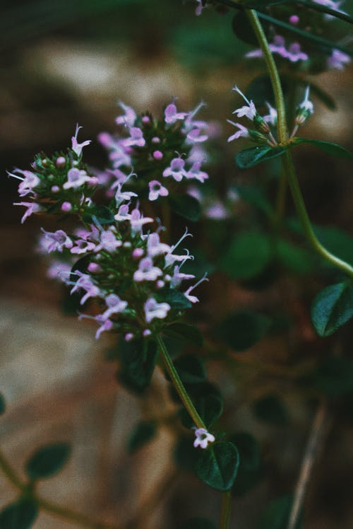 Closeup of Thymus pannonicus plant with small violet flowers and shiny green leaves on thin stem