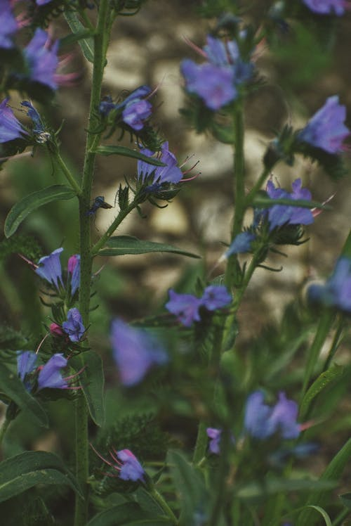 Small blossoming flowers of Phacelia distans plant growing in forest