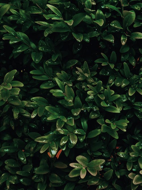 High angle of fresh wet shiny leaves of common box evergreen shrub growing in garden during rain
