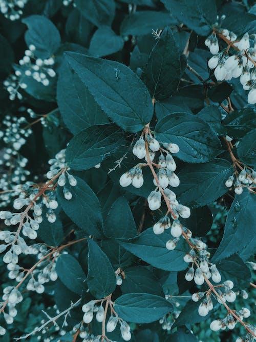 White small fruits on blooming Symphoricarpos albus shrub