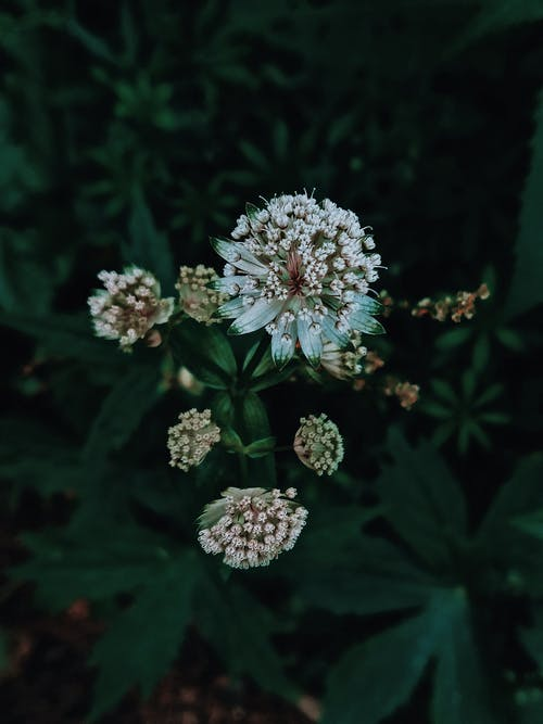 Blossoming Astrantia with aromatic flowers growing in park