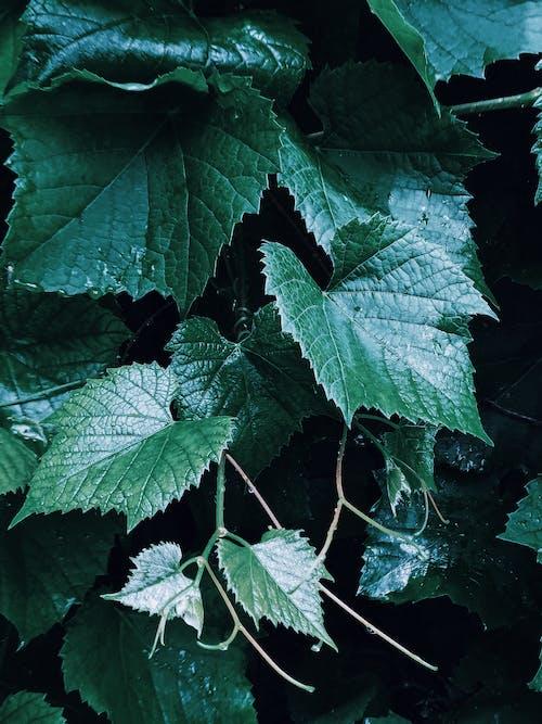 Leaves of grape in garden