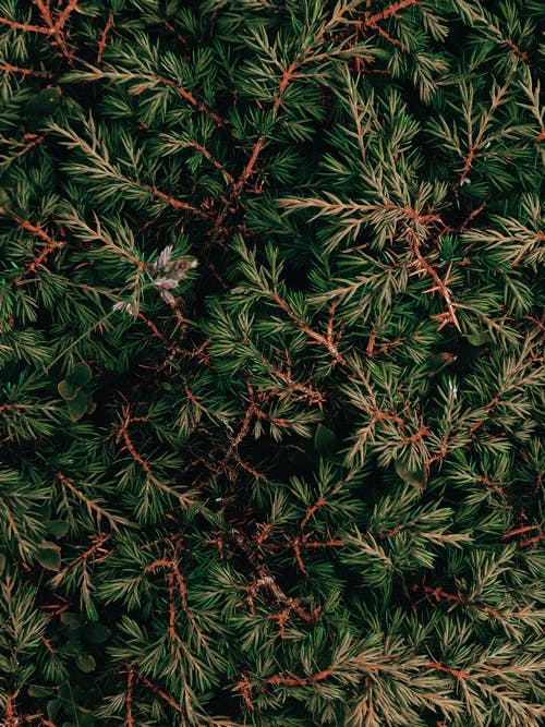 From above of thin fragile brown branches of juniper with soft needles in forest in daylight