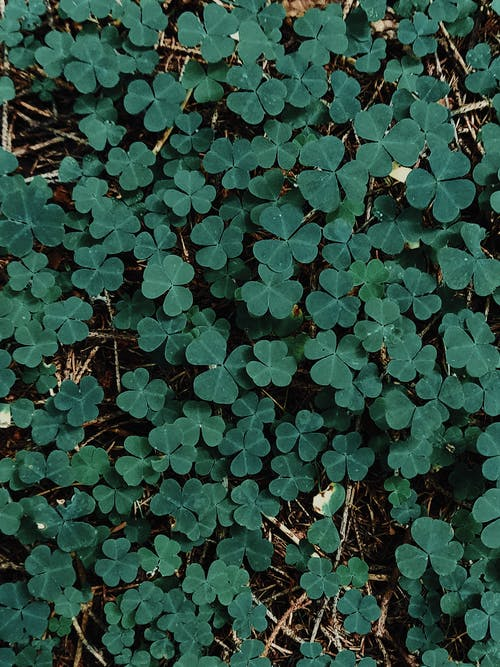 Small leaves of shamrock in woodland