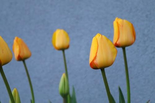 Yellow tulips on green stem