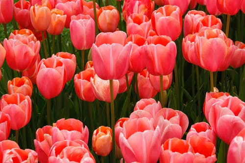Close-Up Photo of Red Tulip Flowers Blooming
