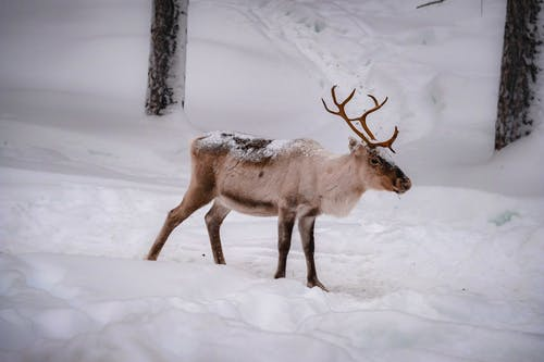 Deer with antlers walking in snowy forest