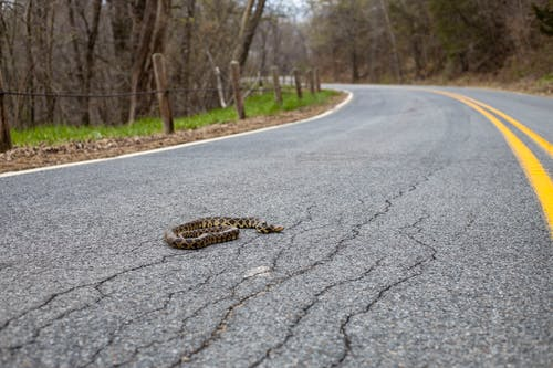 Ground level of snake with blots on skin crawling on rough asphalt roadway with cracks