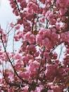 Wonderful blooming sakura tree with lush pink flowers