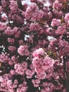 Branches of sakura cherry tree with blooming pink flowers