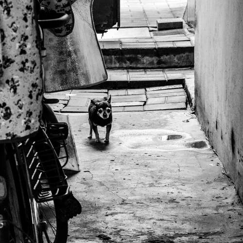 Cute black Chihuahua dog outside weathered building