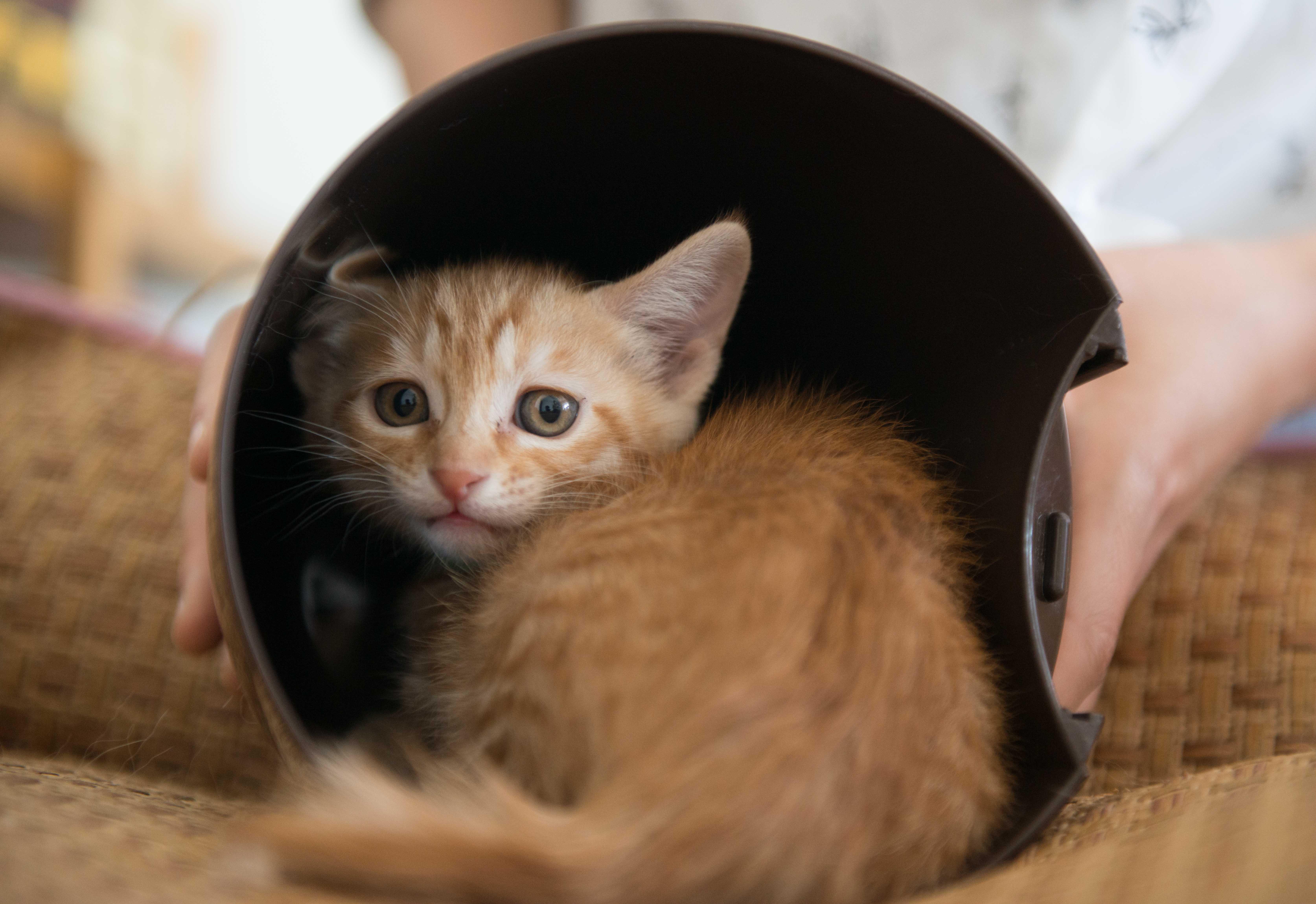 Free stock photo of cat, small, yellow