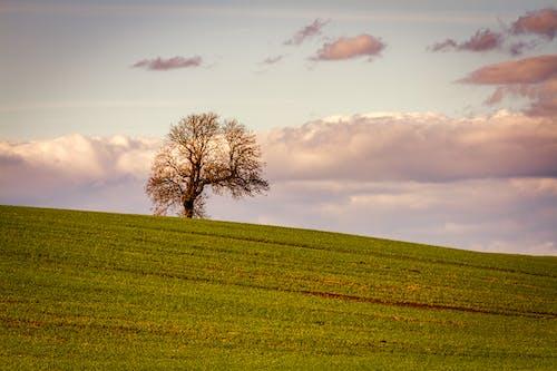 Gratis stockfoto met alleenstaande boom, groen, hemel