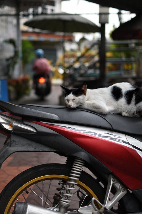 White and Black Cat on Red and Black Motor Scooter