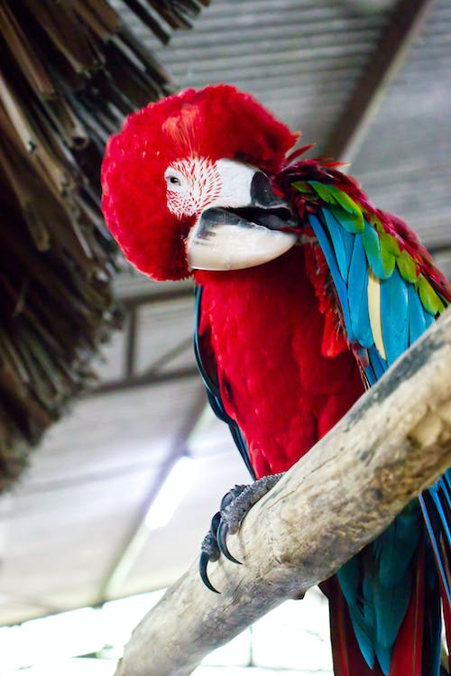 From below of adorable red and green macaw with colorful plumage sitting on tree branch and plucking feathers