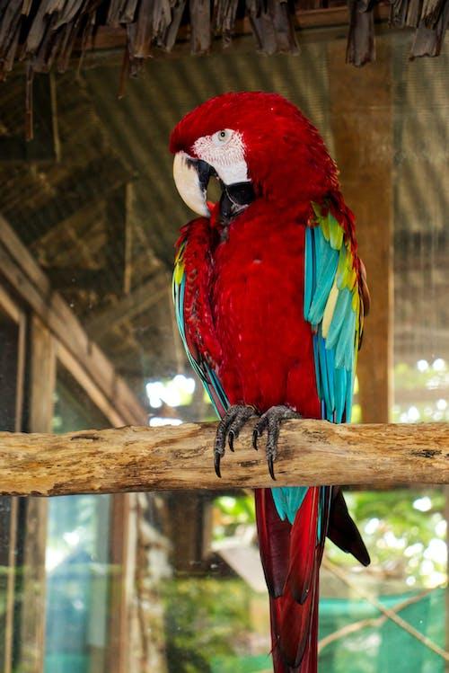 Cute Ara chloropterus parrot squawking in zoo