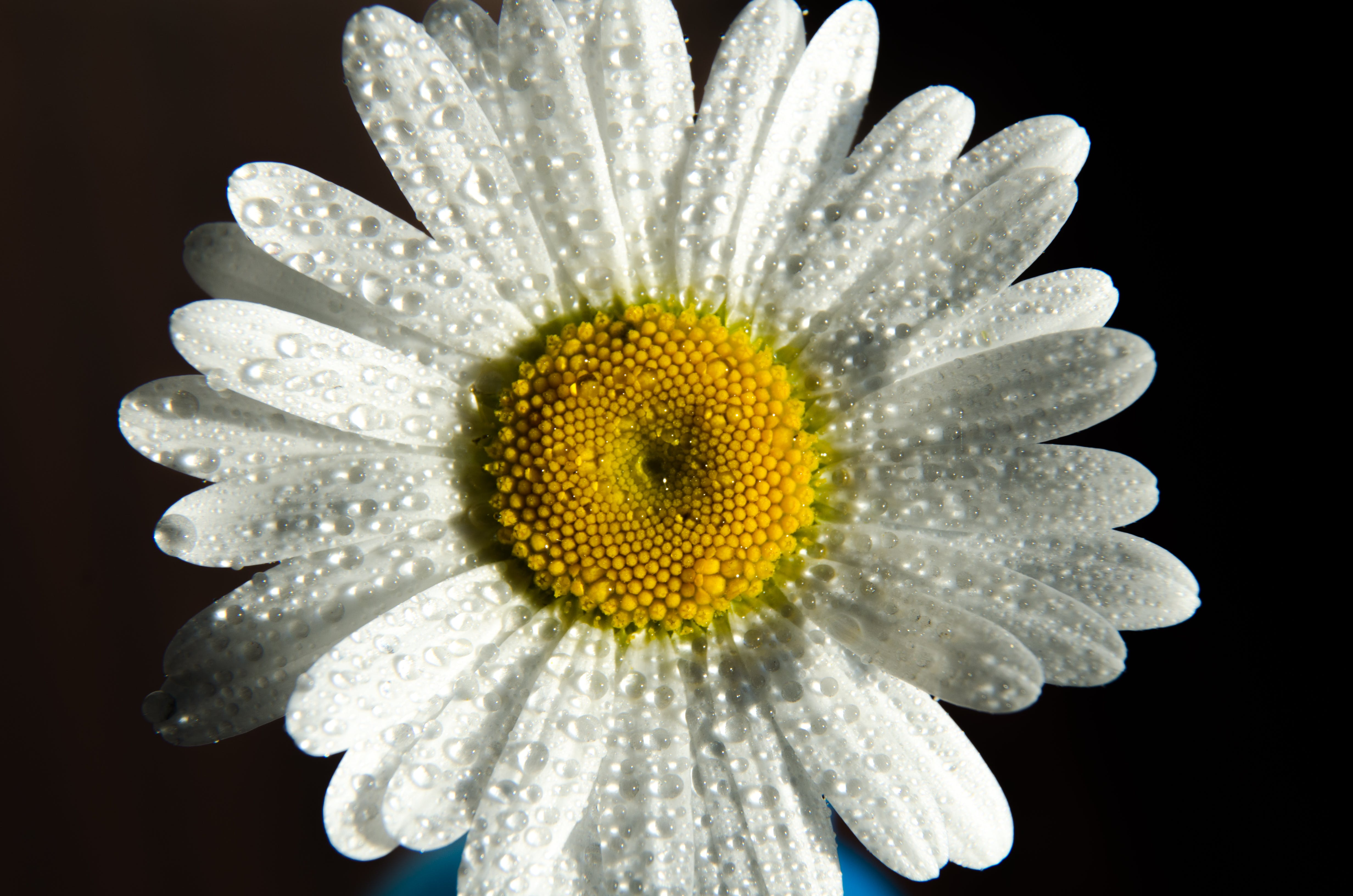 White Daisy in Macro Shot
